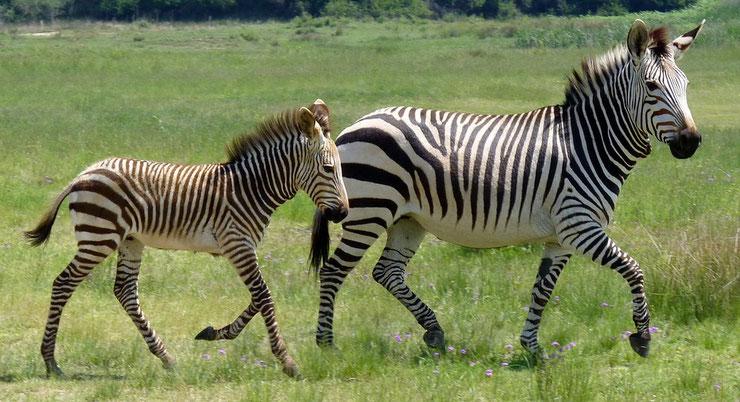 zebre des plaines et son poulain animal afrique rayure esperance de vie predateur