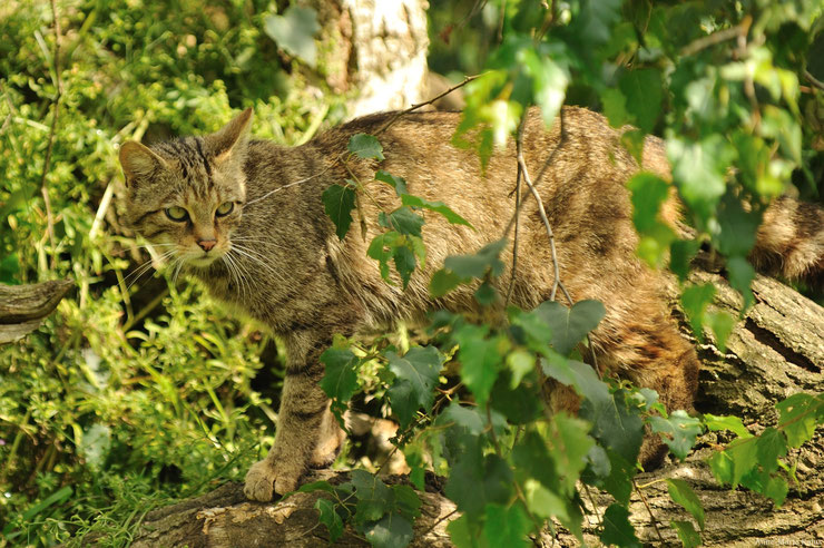 fact wild cat felines animals