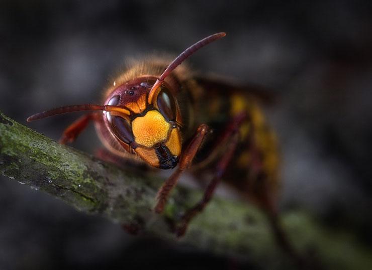 frelon européen insectes hymenoptères