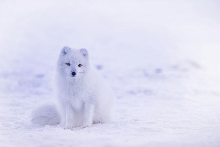 les animaux de la banquise et des cercles polaires pole sud nord arctique antarctique renard isatis