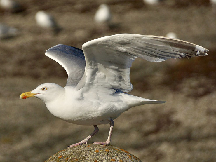 goeland argente fiche oiseaux animaux