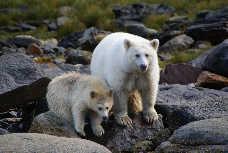 ours esprit kermode bear fiche animaux