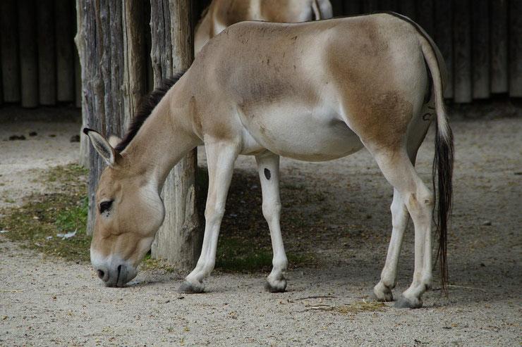 hemione fiche animaux pedagogique reproduction alimentation habitat longevite