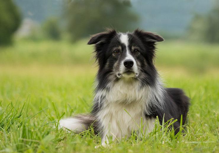 border collie fiche chien animaux