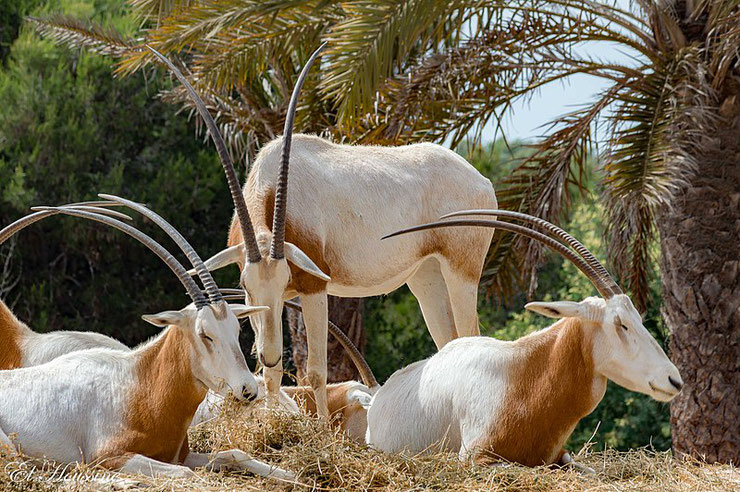 es antilopes d'Afrique oryx algazelle fiches animaux thematique habitat repartition poids taille alimentation reproduction