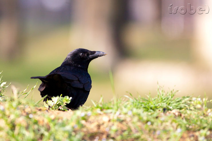 carrion crow corneille noire