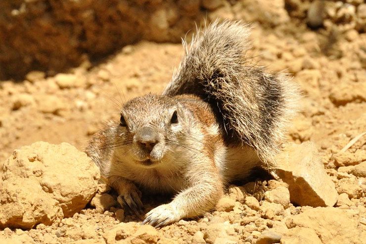 ecureuil fouisseur du cap xerus inauris animal facts cap ground squirrel fiche animal