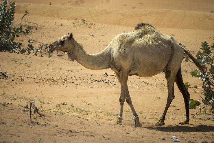 liste animaux emblematiques embleme pays koweit dromadaire