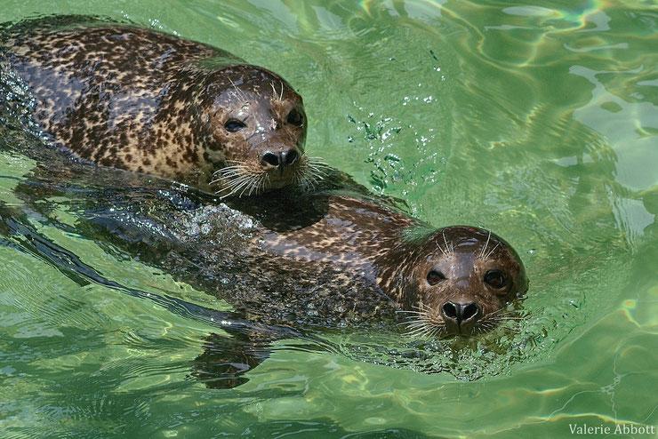 phoque veau marin ou phoque commun animal facts common seal phoca vitulina