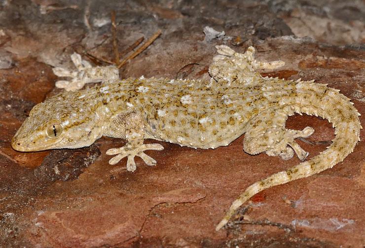 tarente du midi mauretanie gecko fiche animaux reptile comportement taille poids habitat distribution