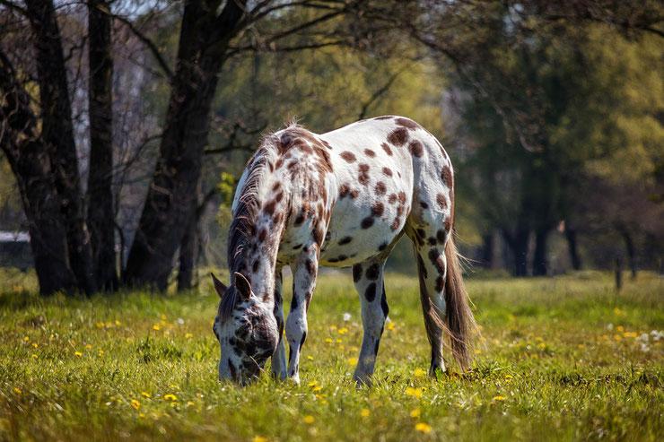 appaloosa fiche chevaux animaux