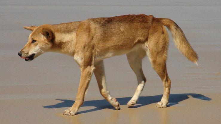 dingo fiche animaux australie
