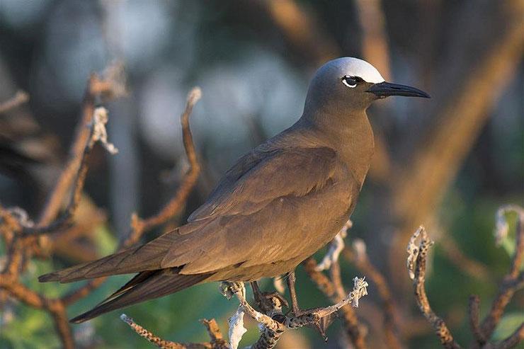 noddi brun fiche oiseaux animaux