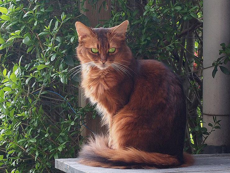 somali fiche chat caractere origine comportement poil sante couleur