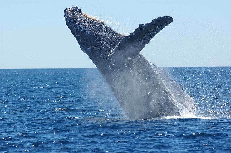 les animaux de la banquise et des cercles polaires pole sud nord arctique antarctique baleine à bosse rorqual