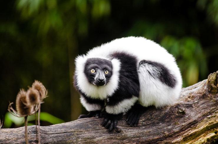 maki vari noir et blanc fiche animaux madagascar lemurien poids taille alimentation