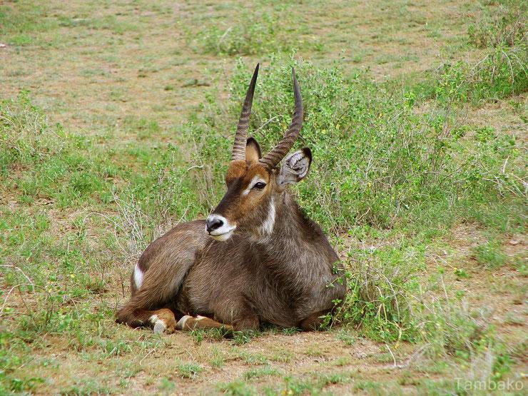 les antilopes d'Afrique cobe a croissant fiches animaux thematique habitat repartition poids taille alimentation reproduction
