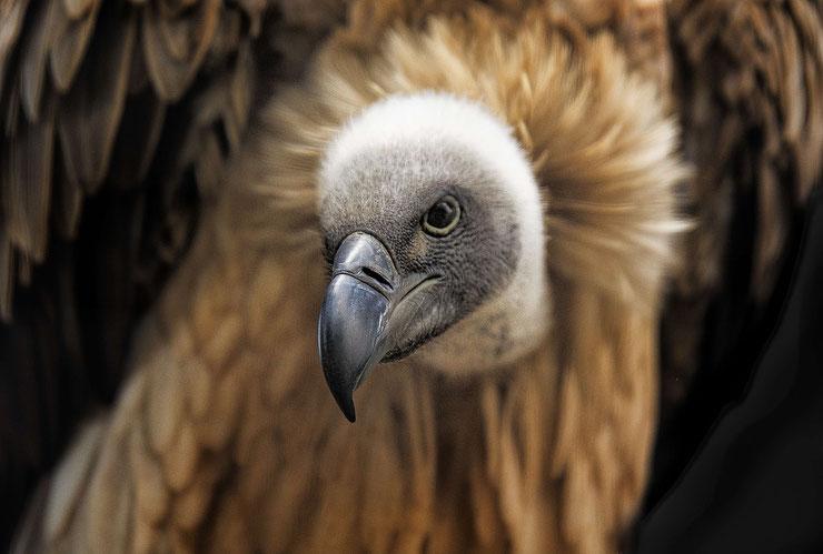 vautour africain fiche oiseaux animaux