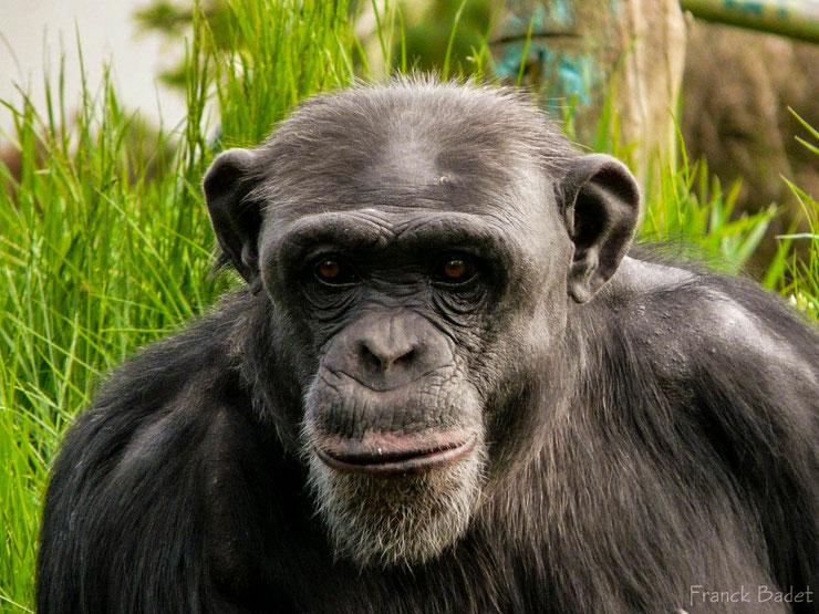 chimpanze fiche singe