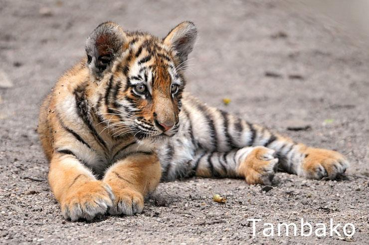 bebe tigre animaux mignons cute cub animals tiger baby
