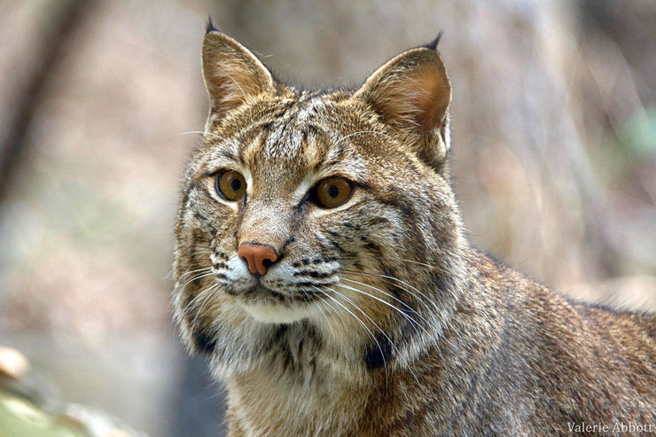 lynx roux bobcat fiche animaux felides felins animal wild cat fact