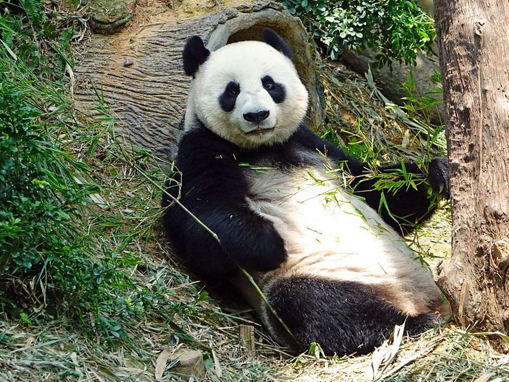 Liste des animaux du tibet panda geant