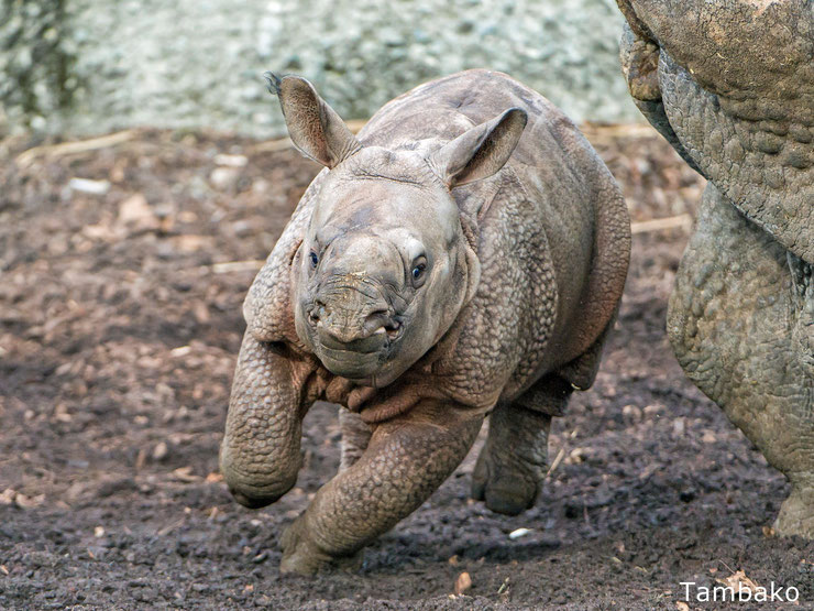 bébé rhinocéros indien animaux mignons cute animals indian rhinoceros