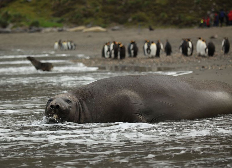 elephant de mer du sud fiche mammiferes marins animaux animal facts southern elephant seal