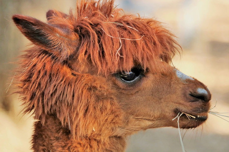 liste animaux emblematiques embleme pays bolivie alpaga