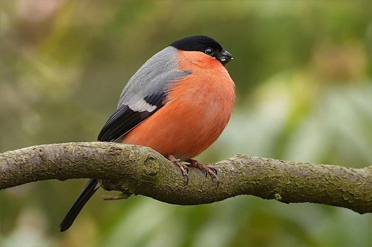 bouvreuil oiseaux de nos jardins fiche animaux animal facts birds eurasian bullfinch