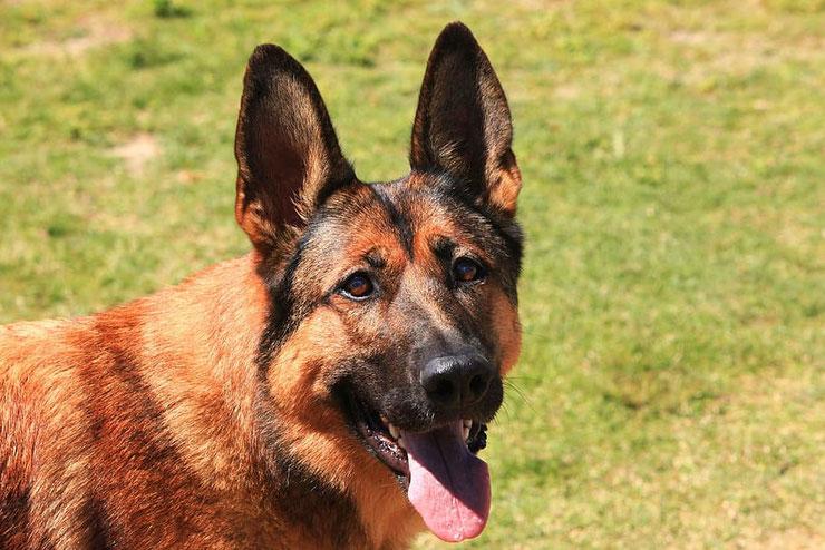 malinois fiche chien animaux origine caractere comportement poil couleur