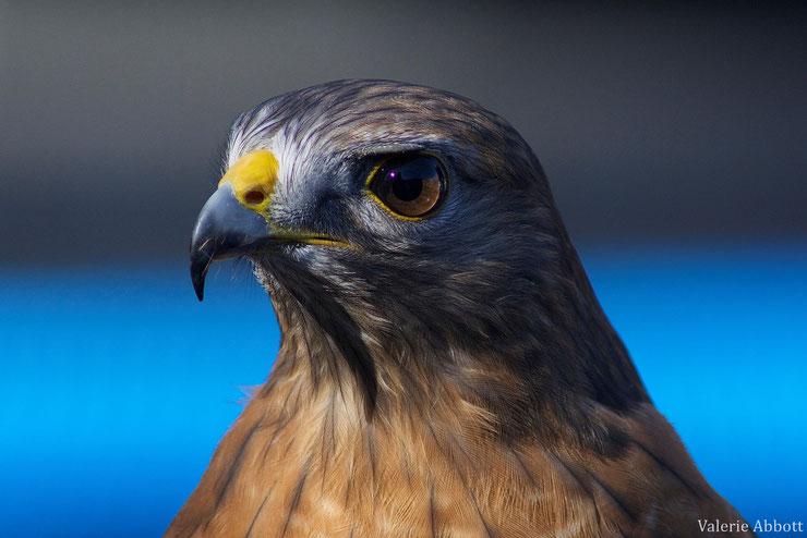 buse à épaulettes fiche animaux oiseaux red shoulderer hawk animal facts bird