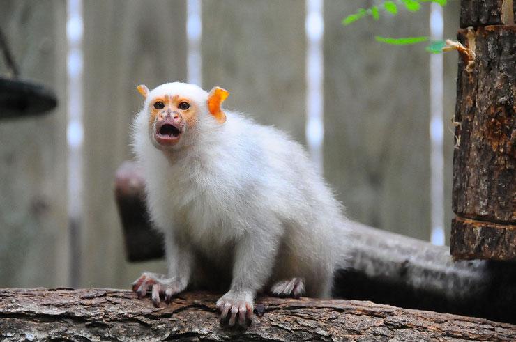 ouistiti argente fiche animaux singe