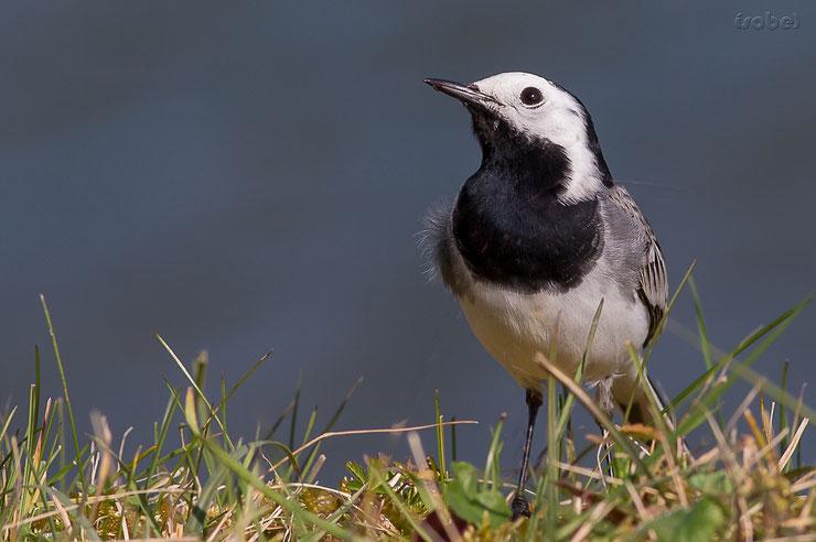 les oiseaux de nos jardins la bergeronnette grise