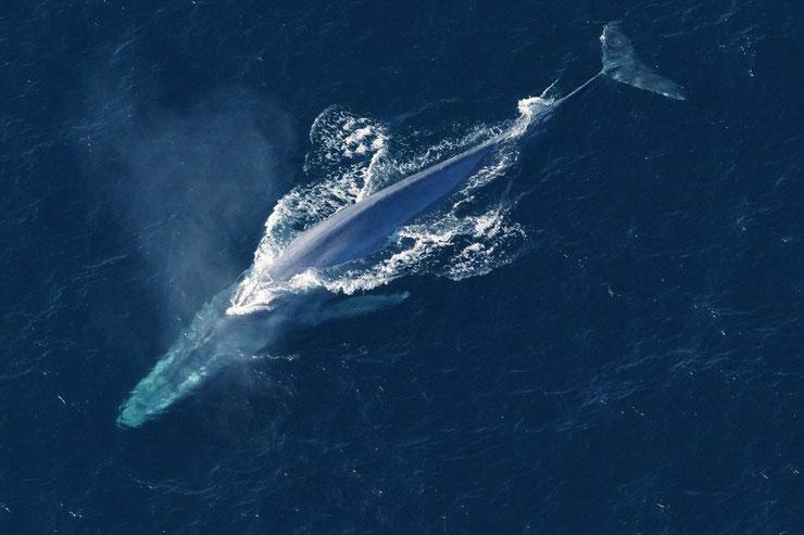 les animaux de la banquise et des cercles polaires pole sud nord arctique antarctique baleine bleue
