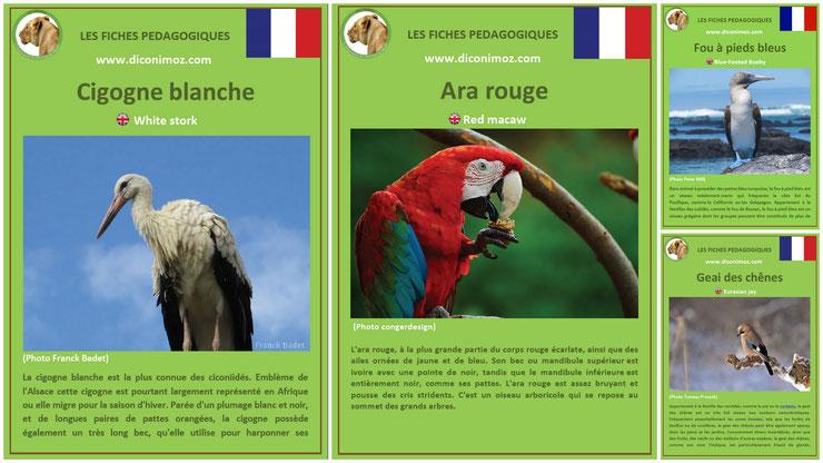 fiches animaux pedagogiques oiseaux à telecharger et a imprimer pdf download animal fact la cigogne blanche, le ara rouge, le fou a pieds bleus et le geai des chênes