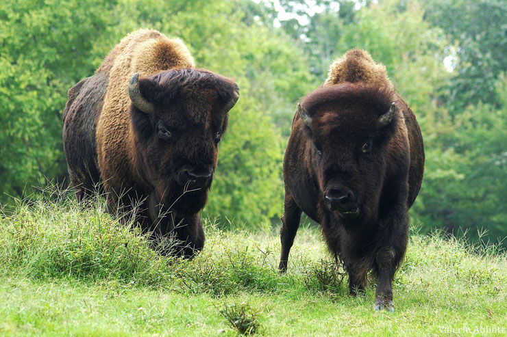 bison amerique du nord fiche animaux bovides animals fact north american