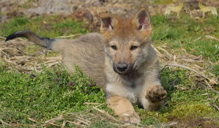 chiot chien loup tchecoslovaque baby dog czeck wolf-dog