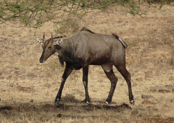 nilgaut antilope fiche animaux sauvages asie taille poids longevite repartition habitat alimentation