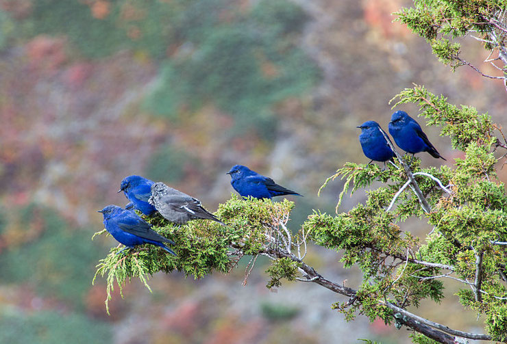 grandala bleu bird oiseau nepal