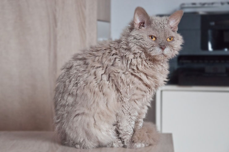 selkirk rex fiche chat animals facts cat