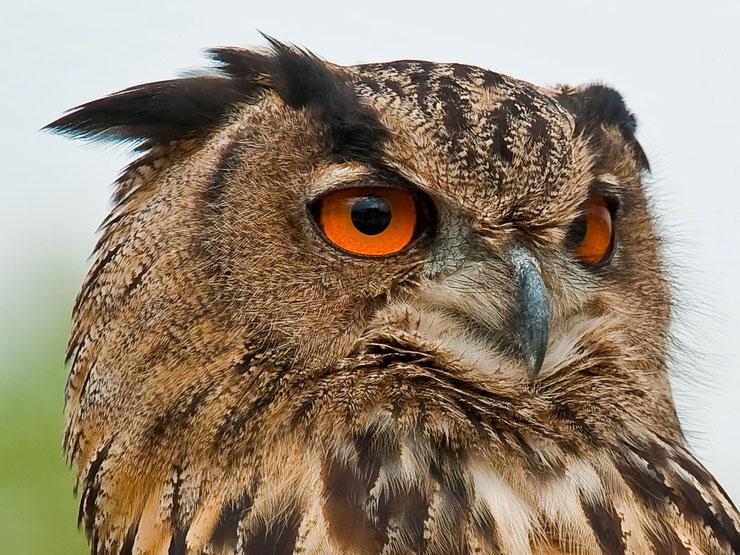 animaux hibou grand duc oiseaux  taille poids alimentation reproduction habitat distribution