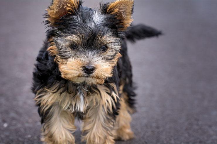 fiche chiens yorkshire terrier animaux fiches