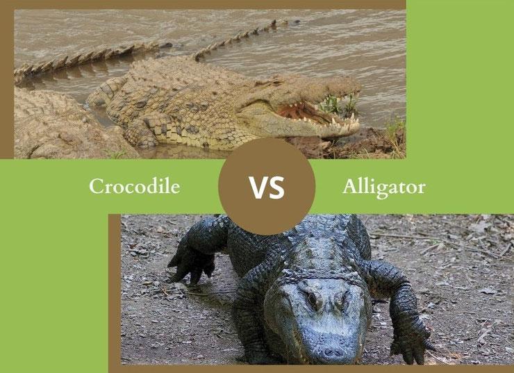 ne confondez plus le crocodile et l'alligator comment reconnaitre differencier