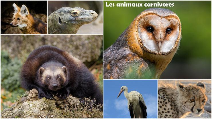 les animaux carnivores regime alimentaire cours svt science et vie de la terre ecole primaire college pedagogie