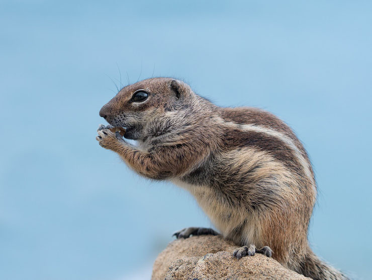 ecureuil de barbarie fiche identification animaux du maghreb desert animal facts barbary ground squirrel