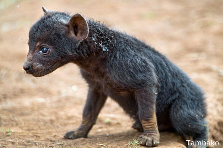bebe hyene tachetee baby striped hyena animals cute mignon