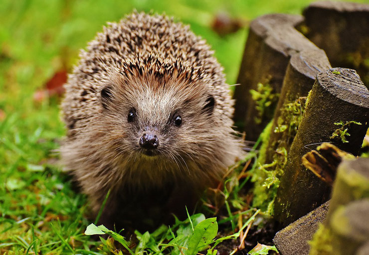 herisson d'europe fiche animaux de nos jardins