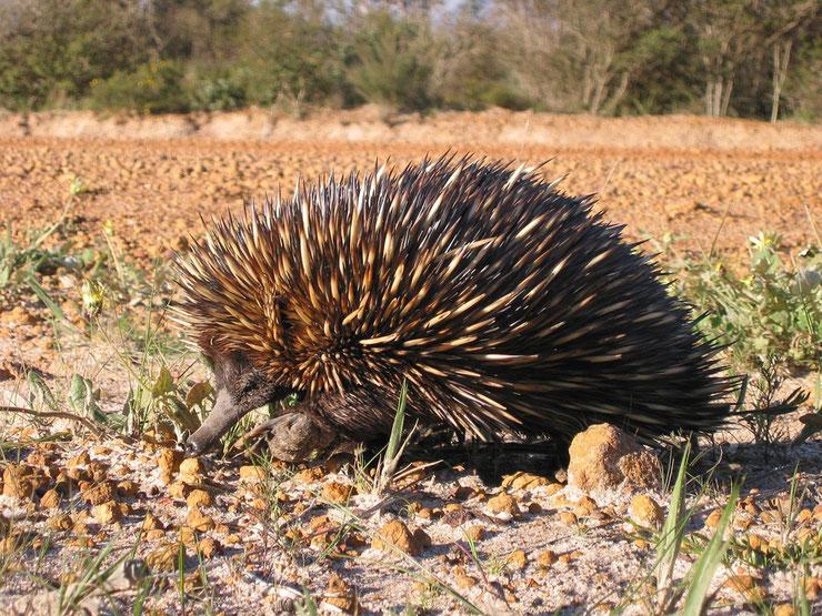 fiche animaux australie echidné mammifere piquant pond des oeufs