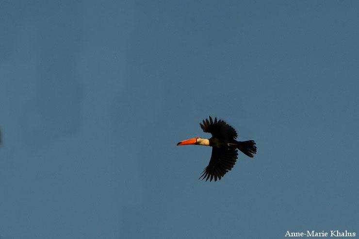 toucan toco en vol flight fiche animaux oiseaux